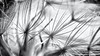 Don't forget to look at the Details... (Ody on the mount) Tags: anlässe blumenundpflanzen details dolomiten em5 fototour italien mzuiko6028 makro nahaufnahme omd olympus pflanzen südtirol urlaub workshop bw monochrome sw
