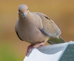 Mourning Dove (Zenaida macroura) (ekroc101) Tags: illinois elmwoodpark birds mourningdove zenaidamacroura
