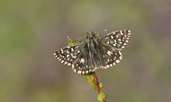 Grizzled Skipper (Pyrgus malvae). (Bob Eade) Tags: butterflies butterfly grizzledskipper southdownsnationalpark seaford sussex spring eastsussex downland grassland hawthorn skipper morning pyrgusmalvae