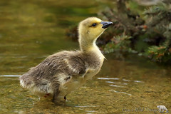 Baby Goose (PamsWildImages) Tags: goose gosling bc bird britishcolumbia baby canada canon canonef100400mmlens 1dxmarkii cute nature naturephotographer wildlife wildlifephotographer pamswildimages pammullins