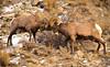 Pass the Migraine Meds (William Horton Photography) Tags: bighornsheep gardiner montana wyoming yellowstonenationalpark animal fighting headbutting mammal rut unitedstates us