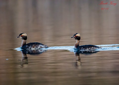 Horned Grebes (dbking2162) Tags: wildlife duck ducks birds bird nature nationalgeographic water diving grebes horned animal summitlakestatepark indiana lowlight