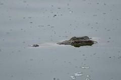 Nile Crocodile, Crocodile du Nil (Crocodylus niloticus) - Zakouma National Park (CHAD) (brun@x - Africa: birds & more) Tags: 2018 bruno portier brunoportier tchad chad zakouma national park zakoumanationalpark crocodylusniloticus nilecrocodile crocodylus niloticus nile crocodile crocodiledunil nil reptilia crocodylia crocodylidae vulnerable vu iucn redlist