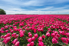 It's that time of the year again... (Marc Haegeman Photography) Tags: tulips tulpen bloemen lente mei spring flowers goereeoverflakkee nederland netherlands zuidholland sky outdoor landscapephotography nature cultivation flower tulip marchaegemanphotography nikond800 herkingen