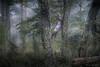 Entre robles y araucarias (josemcalvol) Tags: leaves hojas árbol patagonia parquenacnahuelbuta verde green niebla fog bosque liquen