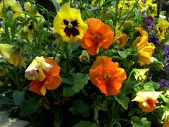 Pansies (Anna Gelashvili) Tags: pansies flower цветочки garden сад цветок flowers анютиныглазки plant soil почва ყვავილი ყვავილები