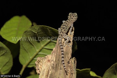 41295 Spotted House Gecko (Gekko monarchus) on bushes at night, Kuala Selangor Nature Park, Selangor, Malaysia. (K Fletcher & D Baylis) Tags: wildlife animal fauna reptile lizard gecko spottedhousegecko gekkonidae gekkomonarchus scansorial commensal humancommensal night nocturnal kualaselangornaturepark selangor malaysia asia april2018