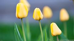 Tulips (umakantht) Tags: flower tulips d700