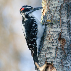 Hairy Woodpecker (timosborne) Tags: whitesprucepark woodpecker hairy