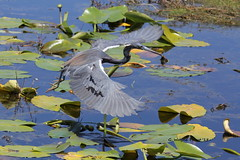 Tricolored Heron (Egretta tricolor) (Gerald (Wayne) Prout) Tags: tricoloredheron egrettatricolor animalia aves chordata pelecaniformes ardeidae egretta tricolor lakelandhighlandsscrub cityoflakeland polkcounty florida usa prout geraldwayneprout canon canoneos60d eos 60d digital camera photographed photography fauna birds tricolored heron wadingbirds herons animals wildlife nature pond marsh water lilypads conservation preservation lakeland highlands scrub city polk county stateofflorida