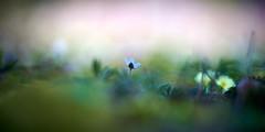 Start Small (matt.kueh) Tags: flower plant blume frühling leberblümchen liverwort liverleaf kidneywort hepaticanobilis spring bokeh soft bokehlicious vintagelens manualfocus m42 depthoffield helios40285mmf15 sonyilce7m2