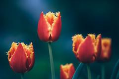 On Fire (--StadtKind--) Tags: stadtkind manuallens primelens sonyalpha teamsony depthoffield dof bokehaddicts bokeh bokehmasters flower fleur flores tulpen pflanzen closeup tulipportrait sonyilce7rm3