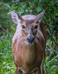 Eye to Eye Deer (tclaud2002) Tags: deer doe wildlife animal parkriverbendpark nature mothernature outdoors jupiter florida usa