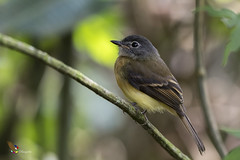 Tawny-chested Flycatcher (fernaabs) Tags: tawnychested flycatcher aphanotriccus capitalis mosquerito pechileonado passeriformes tyrannidae fernaabs burgalin avesdecostarica