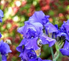 Blue Iris (clarkcg photography) Tags: blueiris flags flowers plants annual blue background bokeh light smileonsaturday catchthebokeh