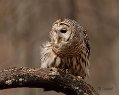 Barred Owl (CR Courson) Tags: barredowl owls strigidae strixvaria raptors birds birdphotography birdsofprey crcourson chuckcourson nikon naturephotography nature
