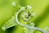 Farn (Marcus Hellwig) Tags: farn spirale grün natur makro makrofoto naturfoto detail