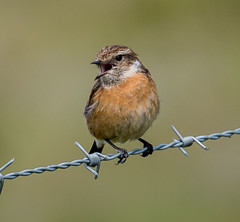Male Stonechat on wire