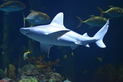 Wonders of Wildlfie National Museum and Aquarium (Adventurer Dustin Holmes) Tags: 2018 wondersofwildlife fish underwater aquarium corral shark animalia saltwater tuna animals animal