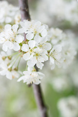 Orchard Blossoms (hmthelords) Tags: bluebarn
