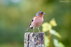 Pinsons des arbres mâle (3) (Ezzo33) Tags: france gironde nouvelleaquitaine bordeaux ezzo33 nammour ezzat sony rx10m3 parc jardin oiseau oiseaux bird birds specanimal pinson des arbres