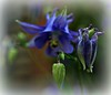 Aquilegia - 3 stages of growth (ronramstew) Tags: aquilegia bud flower bloom growth birchmoor stmichaels merseyside liverpool spring panasonic25mm17