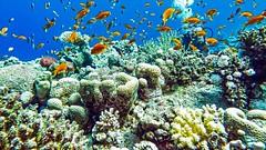 hidden (werner boehm *) Tags: wernerboehm scubadiving redsea fishes corals korallen
