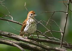 Wood Thrush (sbuckinghamnj) Tags: thrush woodthrush garretmountain garretmountainreservation newjersey songbird