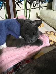 Bonkers' Sweet Dreams (of Stinky Fish) (sjrankin) Tags: 17may2018 edited animal cat bonkers sleep rest pillow futon blanket tunic towel bedroom yubari hokkaido japan