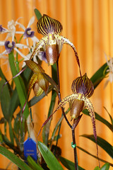 """Orchid Society of California """"Mothers' Day Weekend Orchid Show & Sale; Paphiopedilum orchid 5-18 (nolehace) Tags: orchid society california mothers day weekend show sale orchidsocietyofcalifornia mothersdayweekend 2018 518 spring nolehace sanfrancisco fz1000 flower bloom plant oakland lakemerritt paphiopedilum"""
