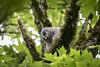 Baby Barred Owl (sharpeshooter1) Tags: barred owls nikon d750 sigma150600