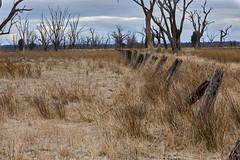 Old Fence Line @ Winton Wetlands (gerryhk) Tags: wintonwetlands benalla northeastvictoria lakemokoan winton drygrass dry oldfence yearsgoneby canoneos5dmarkiv canonef70200mmf28lisiiusm deadtrees oldtrees
