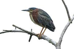 Green Heron (John Picken) Tags: greenheron northpond chicago bird nature wildlife picken