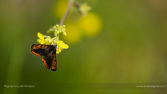 Common copper (ILO DESIGNS) Tags: 150mm 2018 color commoncopper d3300 guadarrama insecto lycaenaphlaeas mariposa mariposamantobicolor mayo naturaleza pradera primavera butterfly insects wildlife fauna nature naturallight meadow green field europe spain madrid closeup sigma15028 sunlight sunny handheld