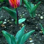 Terrific Tulip thumbnail