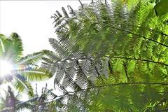 Sunshine (thomasgorman1) Tags: pattern sunlight sunshine trees fern ferns leaves hawaii nikon light bright green nature outdoors hike