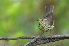 CA3I9121-Northern Waterthrush (tfells) Tags: northernwaterthrush warbler bird nature wildlife migration mercer newjersey
