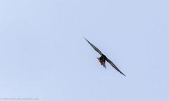 9Q6A3899 (2) (Alinbidford) Tags: alancurtis alinbidford birdofprey brandonmarsh hobby nature wildbirds wildlife