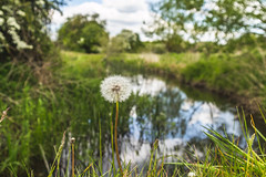 Clocking In (NVOXVII) Tags: dandelion dandelionclock spring nature plant itchen hampshire water landscape reflection canon eos beauty flower