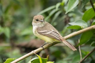 Galapagos Flycatcher D85_1473.jpg