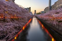Cherry lane (sochhoeung) Tags: cherryblossom meguroriver river cherry blossoms tokyojapan japan japantravel visiting