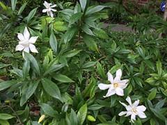 Gardenias (Philosopher Queen) Tags: flower gardenia scent beautiful smell