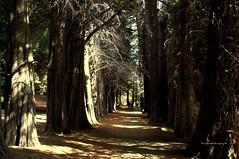 Claroscuro (luisarmandooyarzun) Tags: luz sombras árbol islavictoria bariloche parquenacional parque sudamérica sur bosque patagoniaargentina patagonia panorama