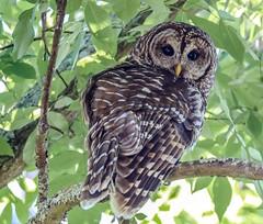 Watchful Mom - Barred Owl (backyardzoo) Tags: barred owl