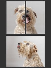 3 Sides of a Dog (Chris Willis 10) Tags: dog pets animal purebreddog canine puppy cute domesticanimals mammal terrier looking studioshot oneanimal white small brown friendship younganimal portrait sitting triptych lulu wheatenterrier
