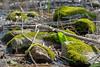 Le lent réveil du printemps (Nicojuli) Tags: plante lichen marais eau