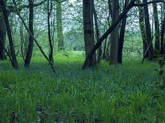 Wet Wappenbury Wood3 (AlanOrganLRPS) Tags: wappenbury wood woodland warwickshire bluebells