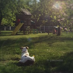 """""""Bring it on squirrels."""" (queenbee2zz) Tags: adoptdon'tshop rescueisthebestbreed pitbullmix zoe"""