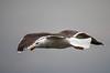 Great Black-backed Gull (Chalto!) Tags: portland portlandbill bird dorset gull greatblackbackedgull seabird