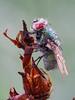 Green bottle fly (-denju-) Tags: olympusem10mkii olympus60mm28 raynoxdcr250 tripod focusbracketing focusbkt naturallight heliconfocus lightroom photomacrography focusstacking focusstack makro macro insect insekt morgen tau dew fliege goldfliege
